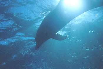 Bottlenose Dolphin often seen on Liveaboard trips