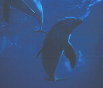 Dolphins often play with us on our liveaboard trips